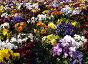 Клумба с цветами, фото № 155097, снято 4 июня 2006 г. (c) Дмитрий Тарасов / Фотобанк Лори