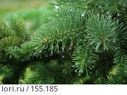 Купить «Ветки хвойного дерева с капельками воды (фон)», фото № 155185, снято 18 июня 2007 г. (c) Dina / Фотобанк Лори