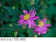 Купить «Космея», фото № 155493, снято 2 октября 2007 г. (c) Светлана Силецкая / Фотобанк Лори