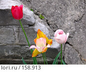 Купить «Тюльпаны», фото № 158913, снято 24 мая 2006 г. (c) Мурад / Фотобанк Лори