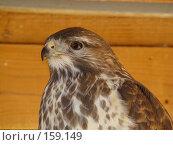 Купить «Хищная птица», фото № 159149, снято 27 октября 2007 г. (c) Карелин Д.А. / Фотобанк Лори