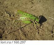 Купить «Самка прямокрылого насекомого», фото № 160297, снято 22 августа 2007 г. (c) Иванова Наталья / Фотобанк Лори