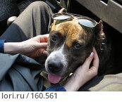Купить «Бойцовская собака в очках», фото № 160561, снято 23 января 2019 г. (c) Огульчанский Александер / Фотобанк Лори