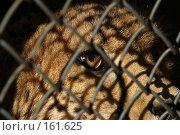 Купить «Дикая кошка в клетке», фото № 161625, снято 12 апреля 2006 г. (c) Морозова Татьяна / Фотобанк Лори