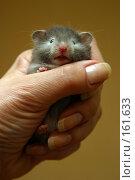 Купить «Маленький хомячок», фото № 161633, снято 21 апреля 2006 г. (c) Морозова Татьяна / Фотобанк Лори