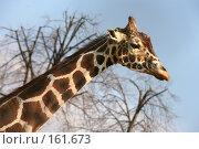 Купить «Печальный жираф», фото № 161673, снято 31 марта 2007 г. (c) Морозова Татьяна / Фотобанк Лори