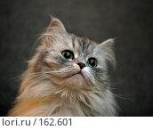 Купить «Портрет кошки», фото № 162601, снято 7 февраля 2004 г. (c) Морозова Татьяна / Фотобанк Лори