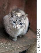 Купить «Старосиамская кошка», фото № 162605, снято 28 марта 2004 г. (c) Морозова Татьяна / Фотобанк Лори