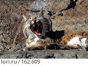 Купить «Дикий кот», фото № 162609, снято 12 апреля 2006 г. (c) Морозова Татьяна / Фотобанк Лори