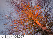 Купить «Береза. Осень. Вечернее солнце», эксклюзивное фото № 164337, снято 20 октября 2007 г. (c) Александр Алексеев / Фотобанк Лори