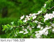 Купить «Цветение», фото № 166329, снято 18 мая 2007 г. (c) Алембатров Алексей / Фотобанк Лори
