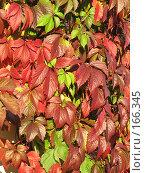 Купить «Фактура, осенние листья», фото № 166345, снято 22 сентября 2007 г. (c) Алембатров Алексей / Фотобанк Лори