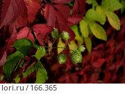 Зеленый хмель на красном фоне. Стоковое фото, фотограф Светлана Архи / Фотобанк Лори