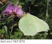 Купить «Бабочка лимонница», фото № 167073, снято 18 июля 2007 г. (c) Иван / Фотобанк Лори