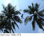 Сборщик кокосов. Стоковое фото, фотограф Устинов Геннадий / Фотобанк Лори