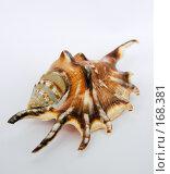 Купить «Морская ракушка на белом фоне», фото № 168381, снято 9 декабря 2007 г. (c) Сергей Самсонов / Фотобанк Лори