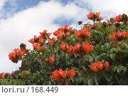 Купить «Африканское тюльпанное дерево, Spathodea campanulata», фото № 168449, снято 30 декабря 2007 г. (c) Tamara Kulikova / Фотобанк Лори