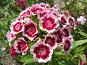 Гвоздика турецкая (бородатая) - Dianthus barbatus, фото № 169525, снято 2 июля 2006 г. (c) Беляева Наталья / Фотобанк Лори