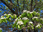 Груша цветет, фото № 170093, снято 6 мая 2007 г. (c) Маргарита Лир / Фотобанк Лори