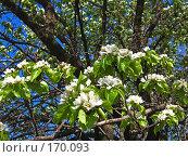 Купить «Груша цветет», фото № 170093, снято 6 мая 2007 г. (c) Маргарита Лир / Фотобанк Лори