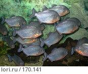 Купить «Маленькие пираньи в аквариуме», фото № 170141, снято 15 сентября 2006 г. (c) Наталья Ярошенко / Фотобанк Лори