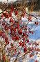 Куст барбариса, фото № 170209, снято 3 января 2008 г. (c) Павлова Татьяна / Фотобанк Лори
