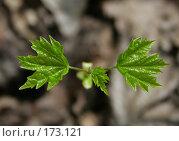 Купить «Весенние листья», фото № 173121, снято 28 апреля 2007 г. (c) Надежда Болотина / Фотобанк Лори