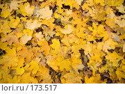 Купить «Желтые кленовые листья», фото № 173517, снято 27 октября 2007 г. (c) Петухов Геннадий / Фотобанк Лори