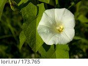 Купить «Цветок вьюнка, освещенный утренним солнцем», фото № 173765, снято 15 июля 2007 г. (c) Петухов Геннадий / Фотобанк Лори