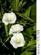Купить «Три цветка вьюнка», фото № 173769, снято 15 июля 2007 г. (c) Петухов Геннадий / Фотобанк Лори
