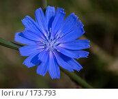 Купить «Одинокий цветок цикория», фото № 173793, снято 24 июня 2007 г. (c) Петухов Геннадий / Фотобанк Лори
