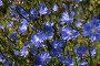 Цветы цикория, фото № 173797, снято 8 июля 2007 г. (c) Петухов Геннадий / Фотобанк Лори