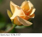 Купить «Роза», фото № 174117, снято 26 сентября 2007 г. (c) Елена Каминер / Фотобанк Лори