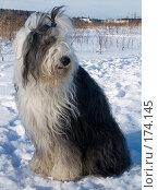 Купить «Бобтейл зимой», фото № 174145, снято 30 января 2007 г. (c) Елена Каминер / Фотобанк Лори