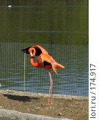 Купить «Фламинго», фото № 174917, снято 4 мая 2006 г. (c) Наталья Ярошенко / Фотобанк Лори