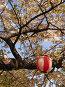 Цветущая сакура на фоне голубого неба с фонарями Sakura in blossom with lanterns, фото № 175401, снято 3 апреля 2007 г. (c) Serg Zastavkin / Фотобанк Лори