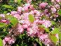 Буйное цветение - розовые цветы на кустах весной, фото № 175461, снято 23 мая 2017 г. (c) Fro / Фотобанк Лори