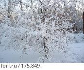 Ранетки в снегу. Стоковое фото, фотограф Cавельева Елена / Фотобанк Лори