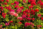 Цветочная клумба. Пеларгония, фото № 176173, снято 23 июня 2007 г. (c) Петухов Геннадий / Фотобанк Лори