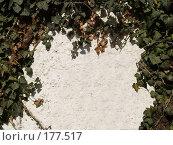 Купить «Плющ», фото № 177517, снято 23 октября 2019 г. (c) Семенюк Виталий / Фотобанк Лори