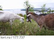 Купить «Две козы бодаются», фото № 177737, снято 23 сентября 2018 г. (c) Антон Тарасов / Фотобанк Лори