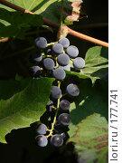 Купить «Гроздь винограда», фото № 177741, снято 23 сентября 2018 г. (c) Антон Тарасов / Фотобанк Лори
