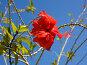Красный цветок гибискуса, фото № 178465, снято 21 августа 2017 г. (c) Парушин Евгений / Фотобанк Лори