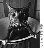 Купить «Мокрый кот в тазу пристально смотрит в камеру», фото № 178709, снято 25 августа 2019 г. (c) Сайганов Александр / Фотобанк Лори