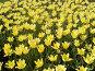 Желтые тюльпаны, фото № 178717, снято 7 января 2005 г. (c) Карасева Екатерина Олеговна / Фотобанк Лори
