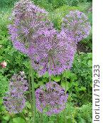Купить «Лук афлатунский - Allium aflatunense», фото № 179233, снято 24 июня 2006 г. (c) Беляева Наталья / Фотобанк Лори