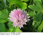 Купить «Лук скорода (шнитт-лук) - Allium schoenoprasum», фото № 179237, снято 24 июня 2006 г. (c) Беляева Наталья / Фотобанк Лори