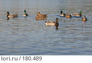 Купить «Утки», фото № 180489, снято 30 сентября 2007 г. (c) Юлия Селезнева / Фотобанк Лори