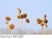 Купить «Сухой подсолнечник», эксклюзивное фото № 181921, снято 23 сентября 2018 г. (c) Juliya Shumskaya / Blue Bear Studio / Фотобанк Лори