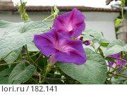 Купить «Цветки ипомея», фото № 182141, снято 8 сентября 2007 г. (c) Иван Мацкевич / Фотобанк Лори
